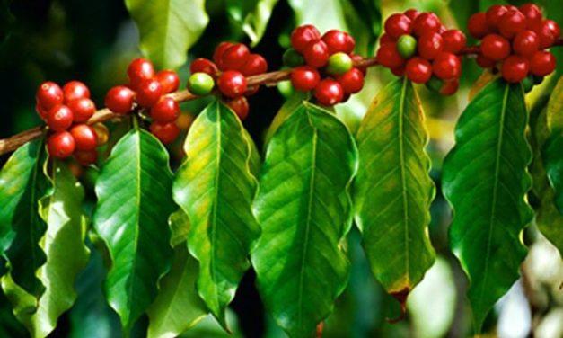Gia Lai: Hiệu quả từ mô hình cà phê VietGap
